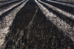 risaia-raccolto-spiga-residuo-dop-baraggia-riso