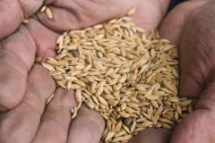 riso-baraggia-dop-raccolto