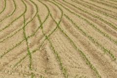 riso-crescita-risaia-dop-baraggia