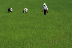 selezione-riso-semina